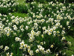 daffodlils, London