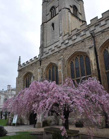 Blossom, Cambridge
