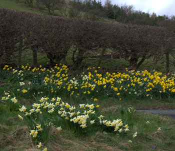 scotland_daffodils