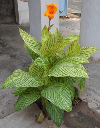 Canna-flower-1