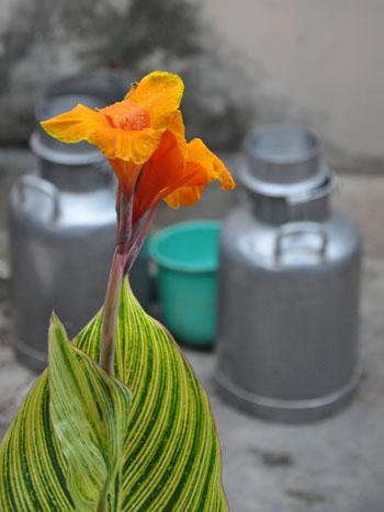 Canna-flower-2