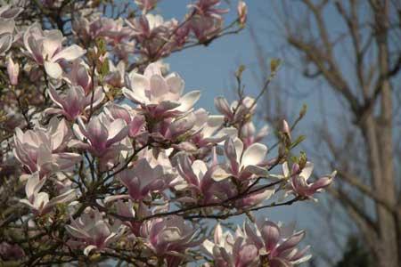 Magnolia flowers, London