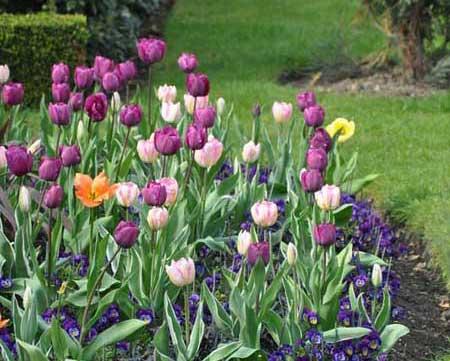Tulips, London